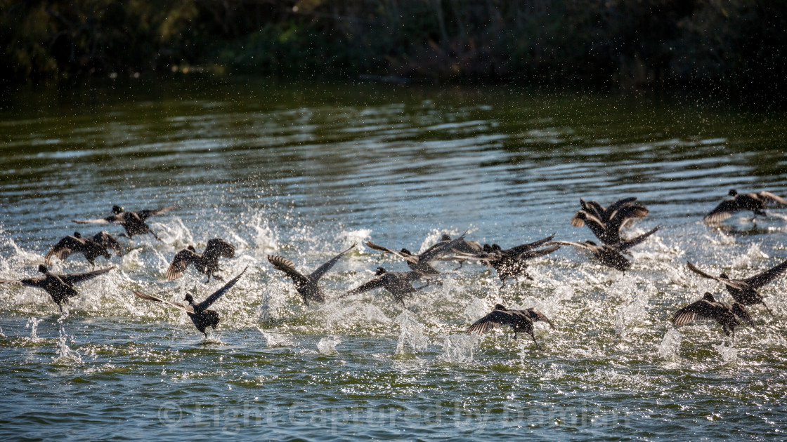 """""""Flock of ducks takes off in a spray of water"""" stock image"""