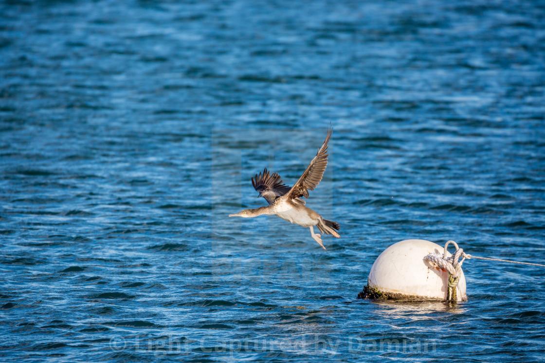 """Cormorant resting on floating buoy"" stock image"