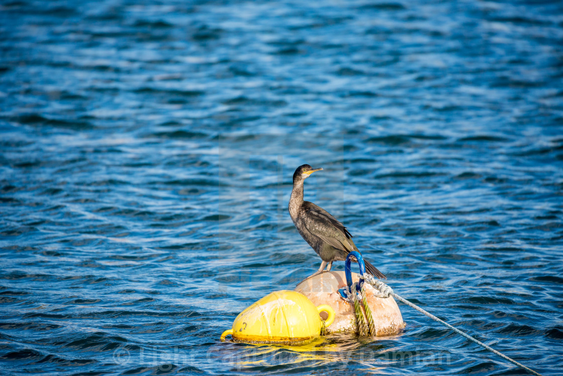 """Cormorant resting on floating buoy"" stock image"