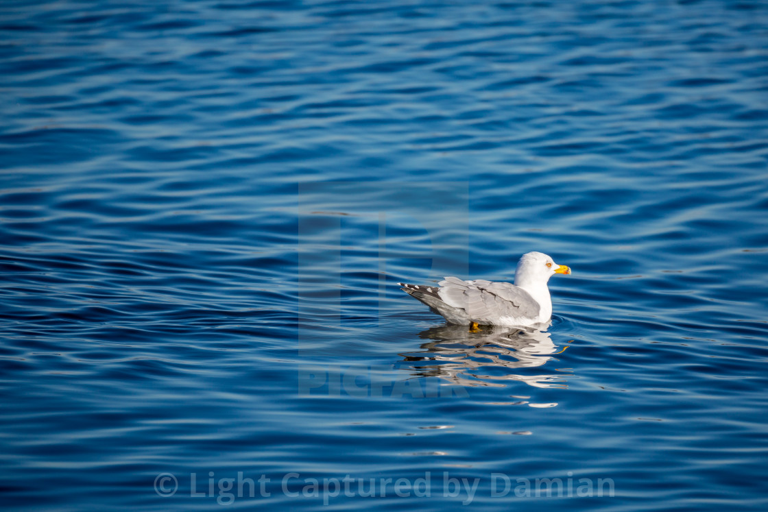 """Seagull floating on calm lake blue water, Greece"" stock image"
