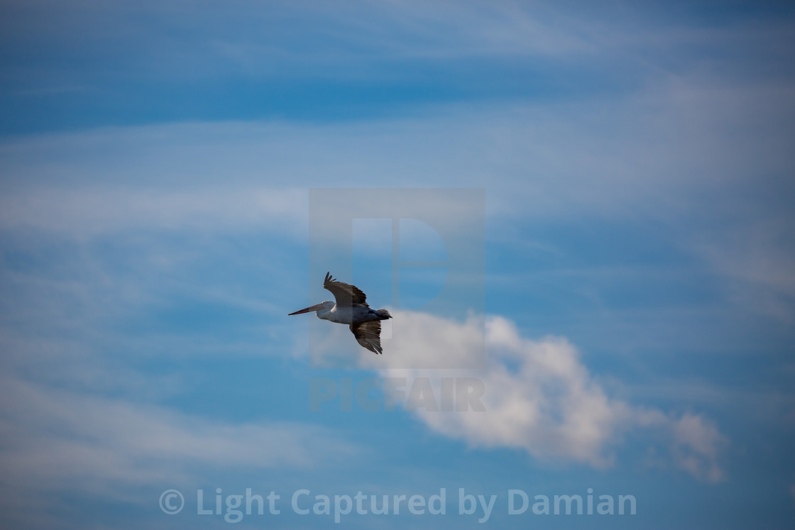 """Amazing pelican flying with big span of wings"" stock image"