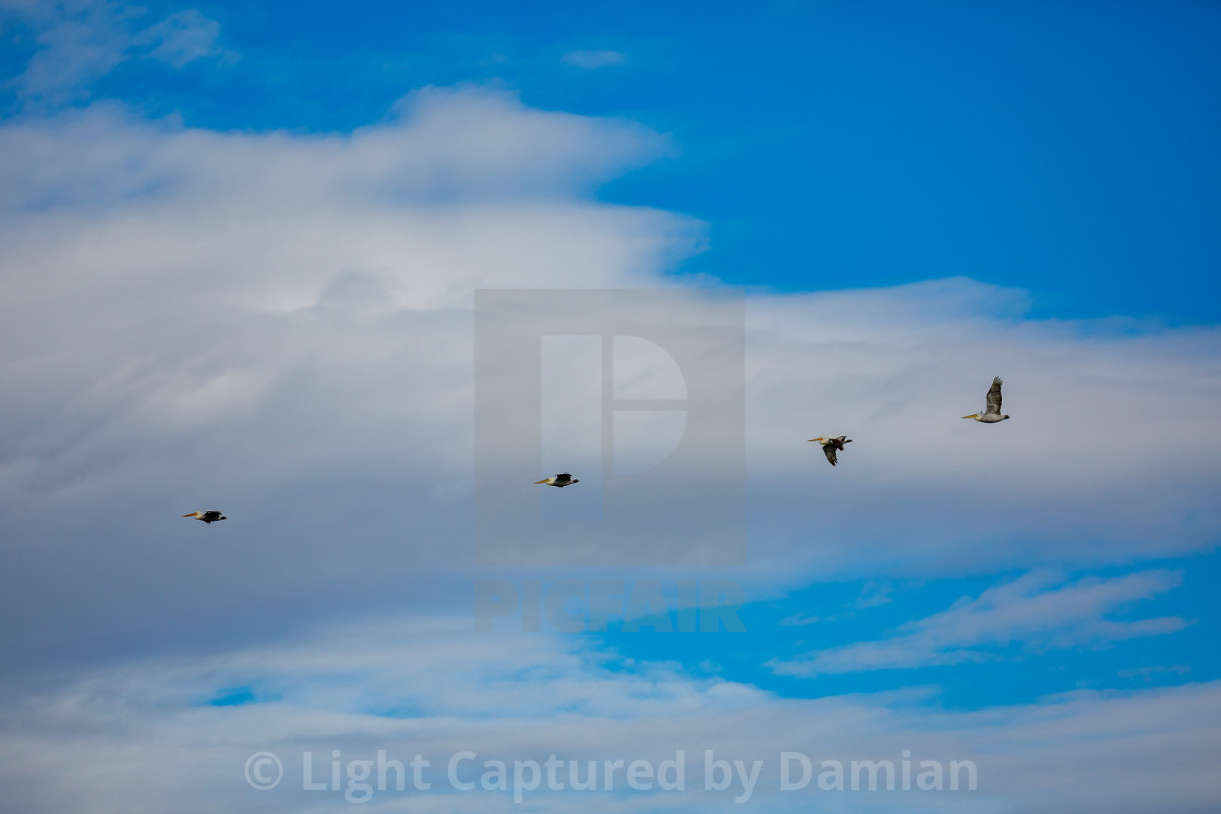 """Amazing pelicans flying with big span of wings"" stock image"