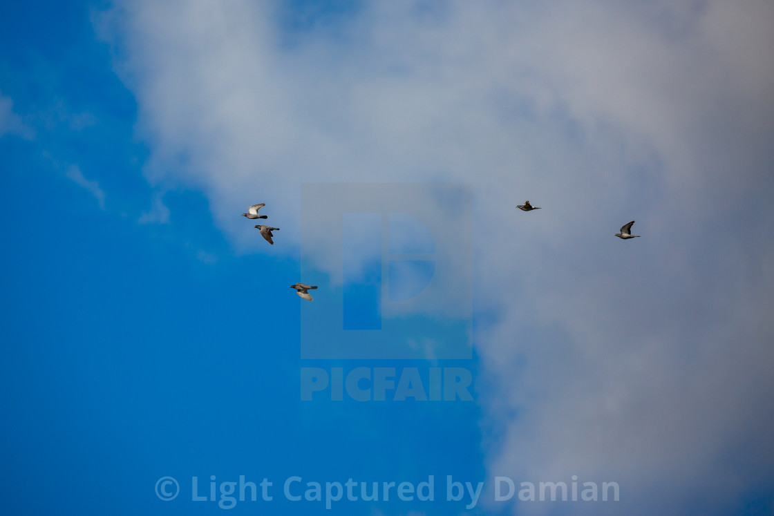 """""""Pigeons flying in formation"""" stock image"""