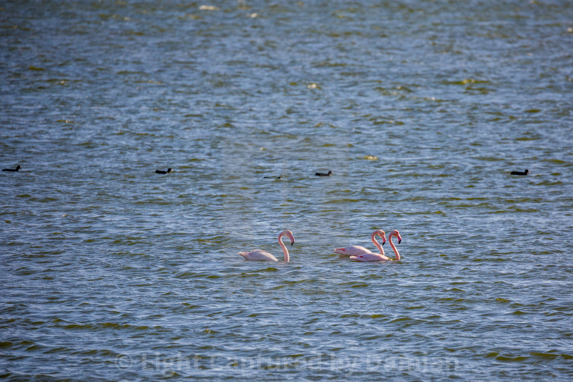 """Flamingos floating on the water"" stock image"