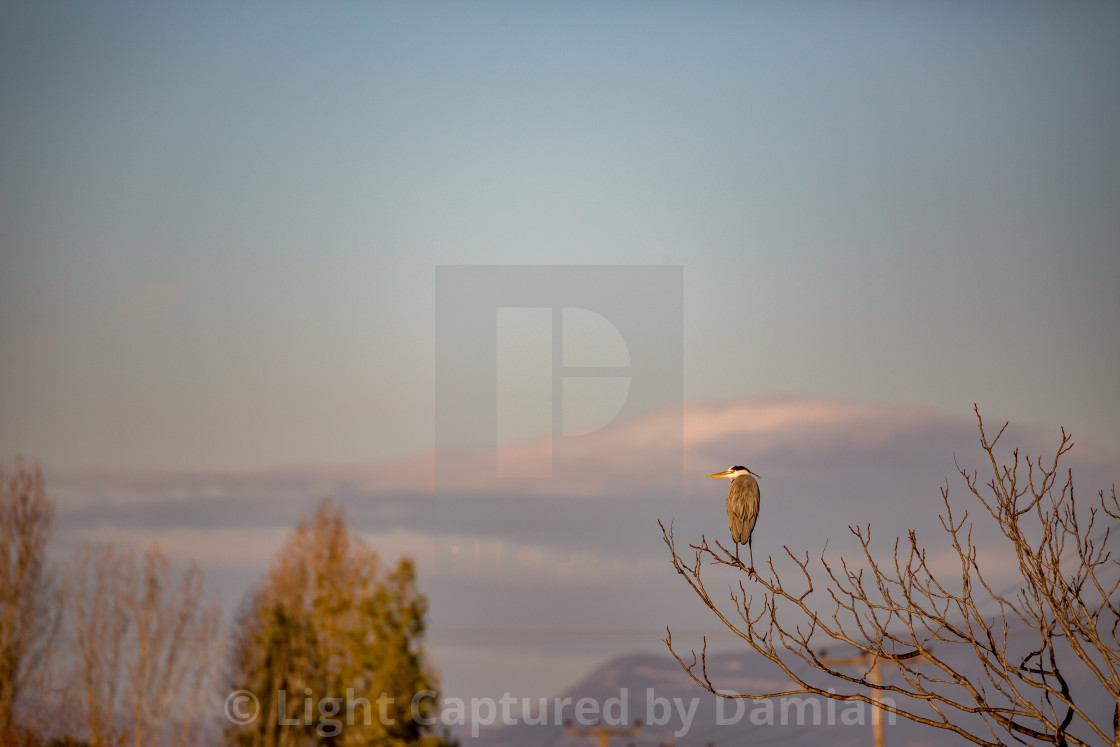 """Heron rests on leafless branch, Greek nature"" stock image"