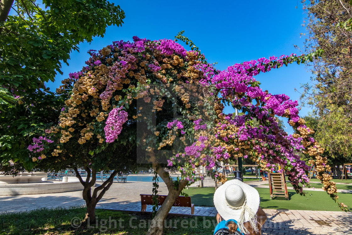 """Taking photos of blooming bougainvillea in park"" stock image"