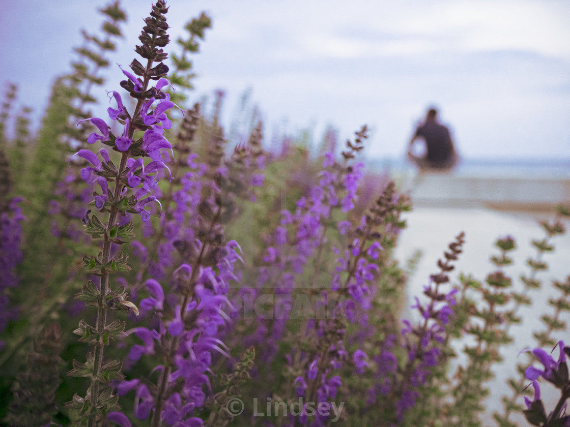 """Lavender Daydreams"" stock image"