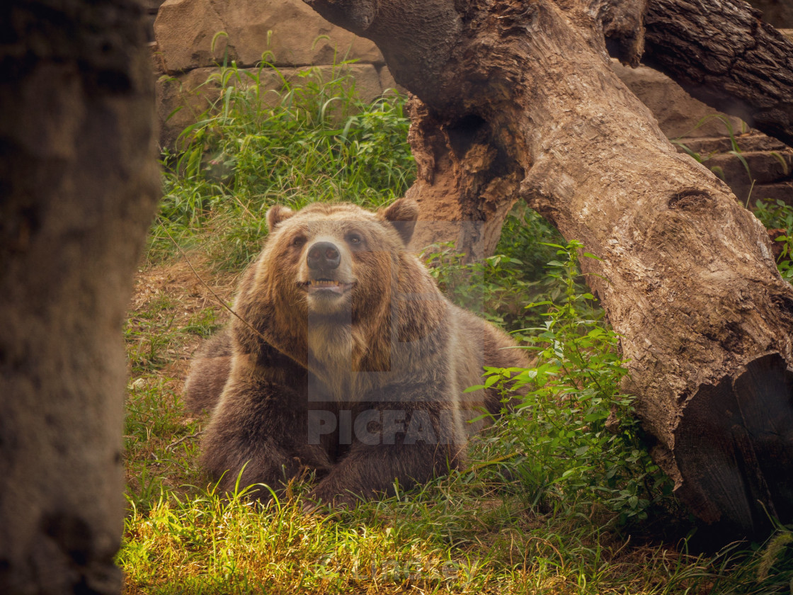 """Grinning Grizzly"" stock image"