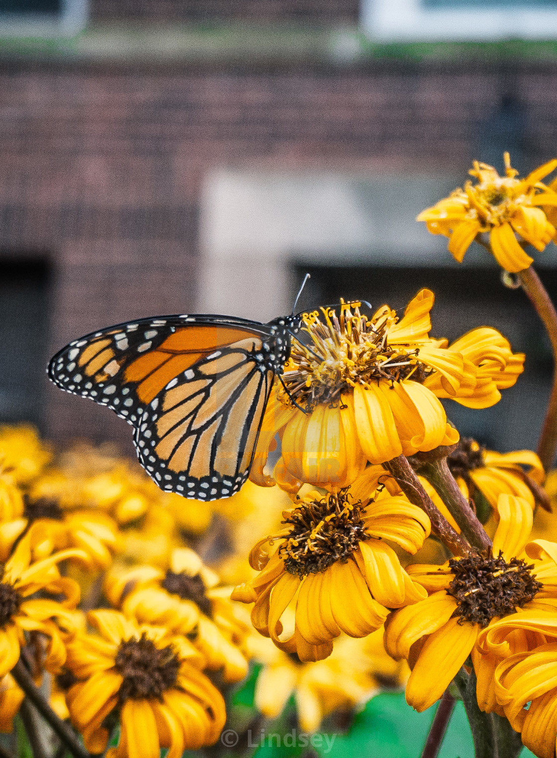 """Monarch Moment"" stock image"