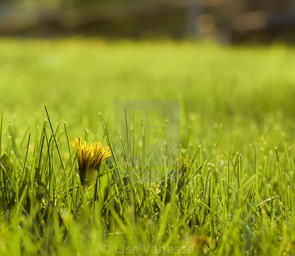 """""""A little dandelion among the grass."""" stock image"""