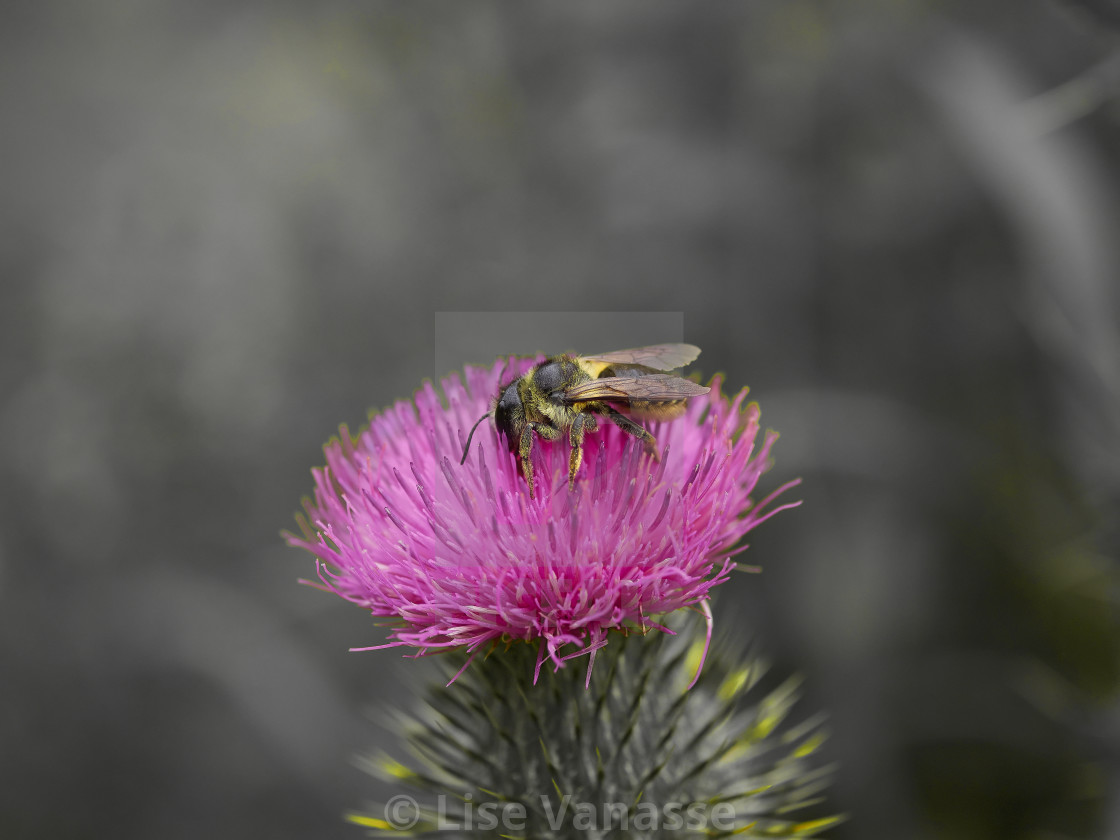 """""""A wasp on a pink flower."""" stock image"""