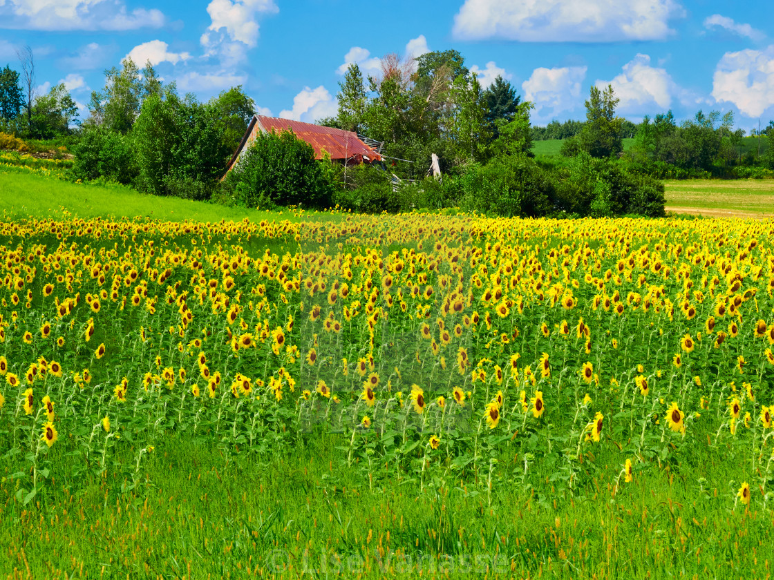 """""""A sunflower field in the countryside."""" stock image"""