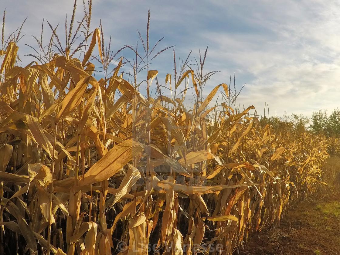 """Corn on the cob in the sun."" stock image"