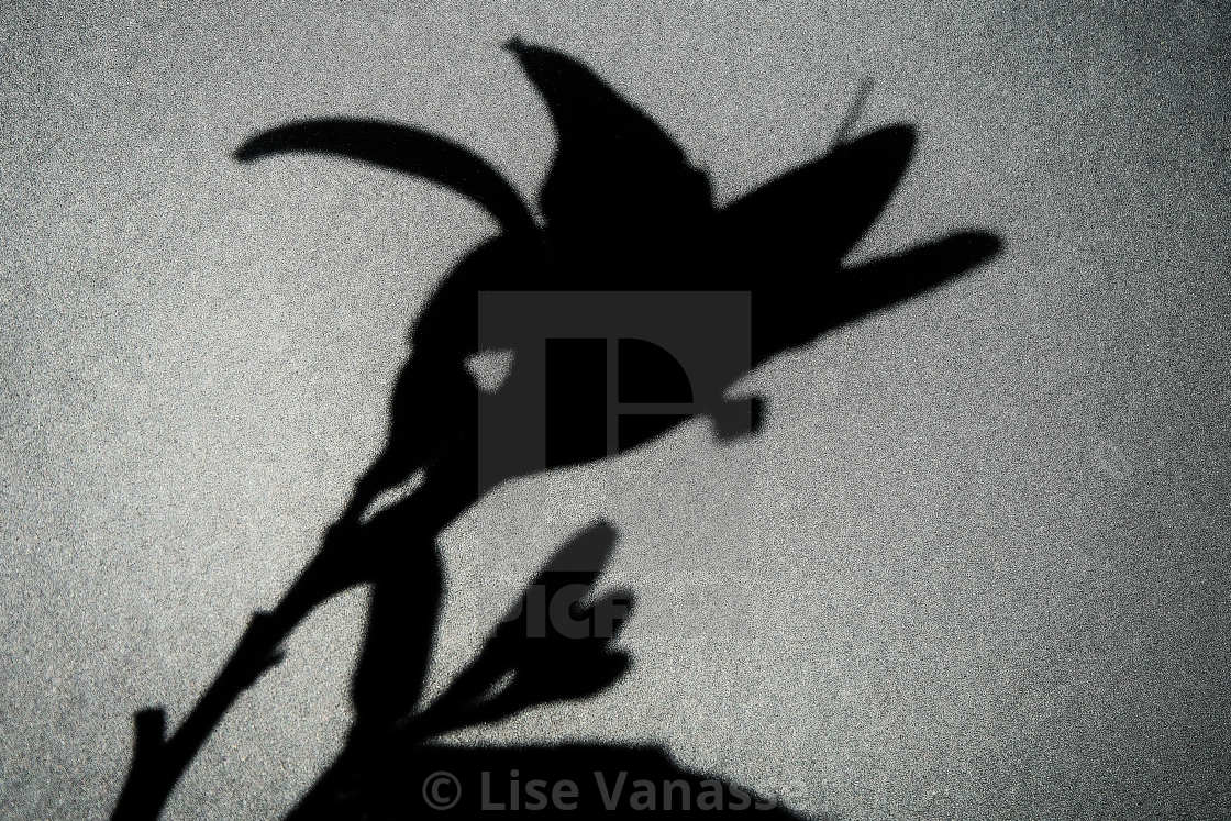 """The shadow of a flower."" stock image"