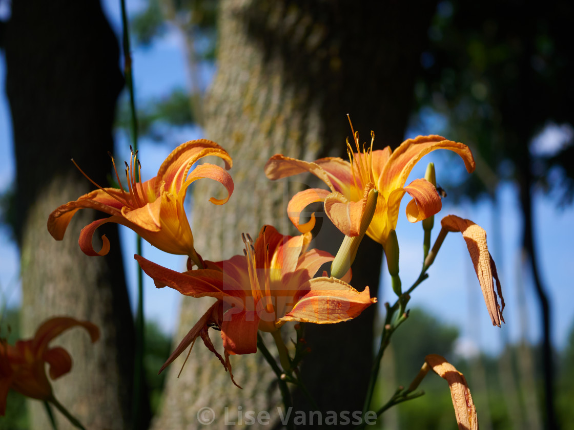 """A bouquet of orange iris."" stock image"