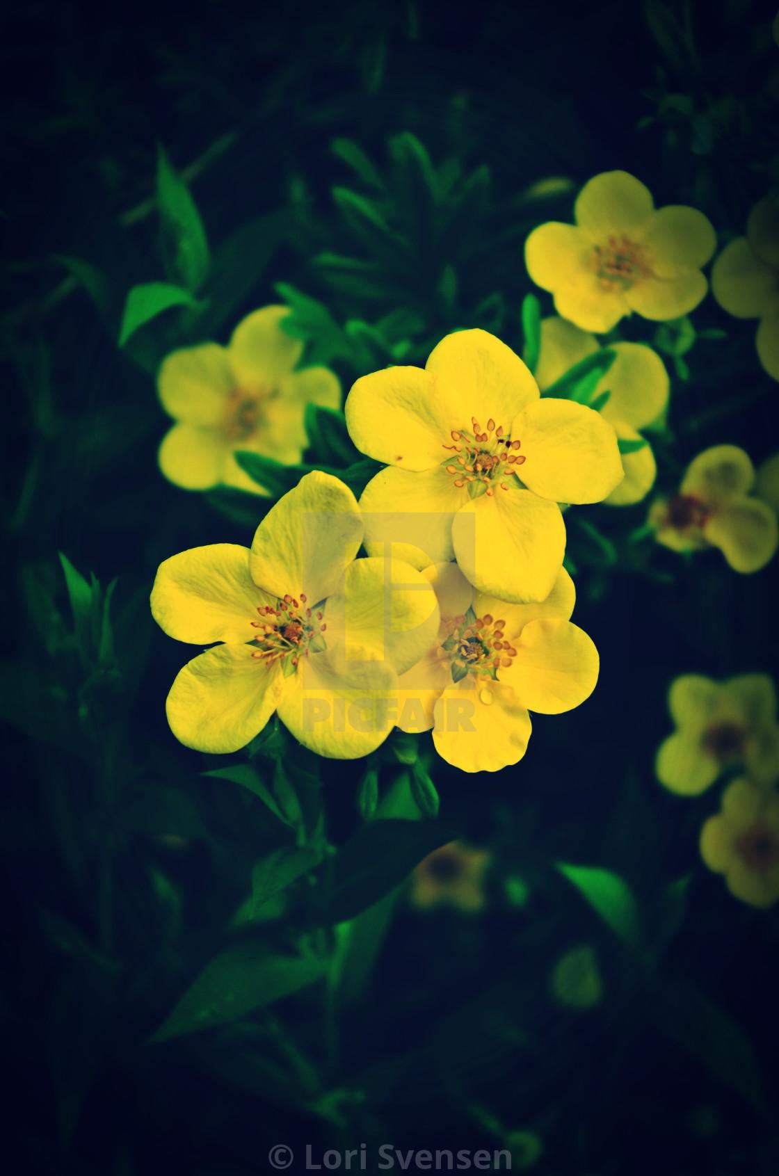 """Yellow Potentilla Blossoms"" stock image"