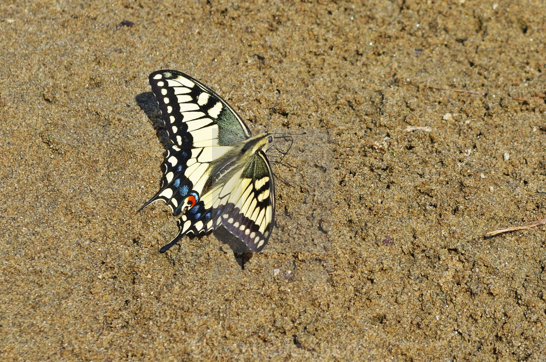 """""""Sand Swallowtail Butterfly"""" stock image"""