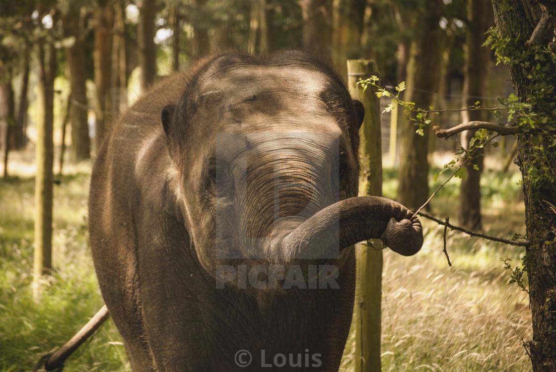 """""""Elephant staring"""" stock image"""
