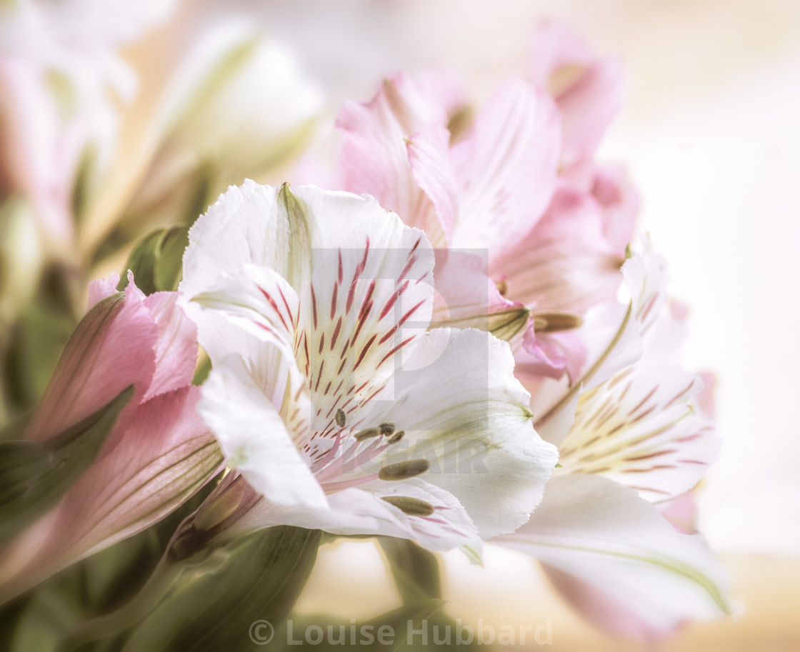 """""""Blooms in Sunlight"""" stock image"""