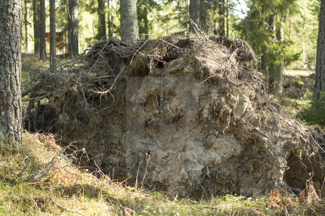 """""""Windthrow after storm"""" stock image"""