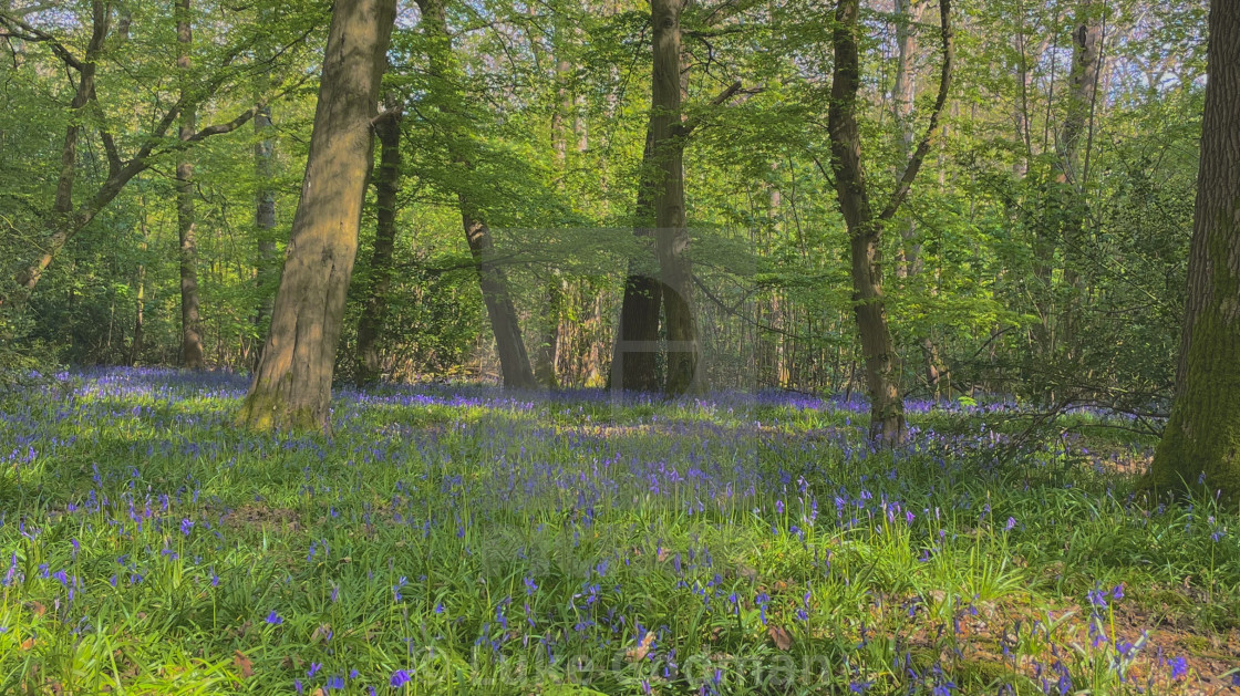 """Bluebell woodlands"" stock image"