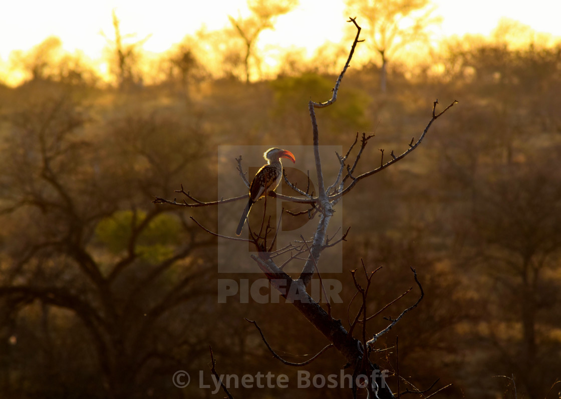 """Southern Yellow-Billed Hornbill"" stock image"