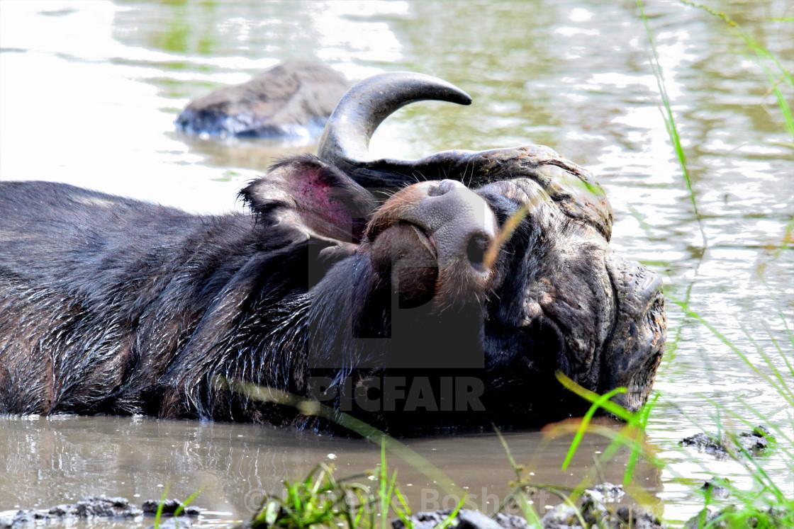 """""""Wallowing Cape Buffalo"""" stock image"""