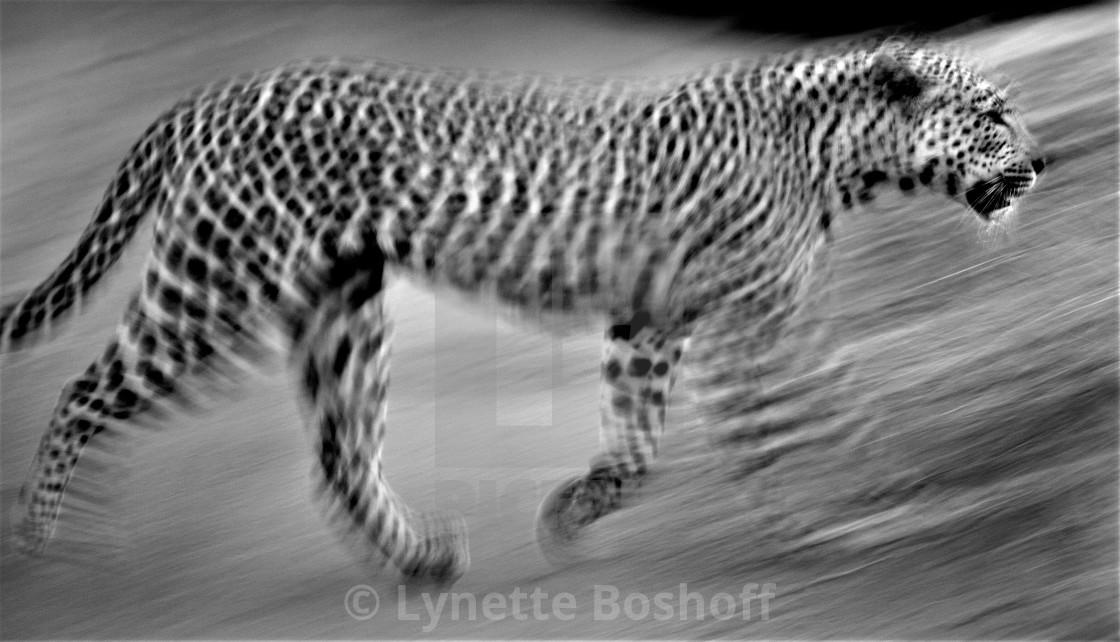 """""""Leopard Surprise"""" stock image"""