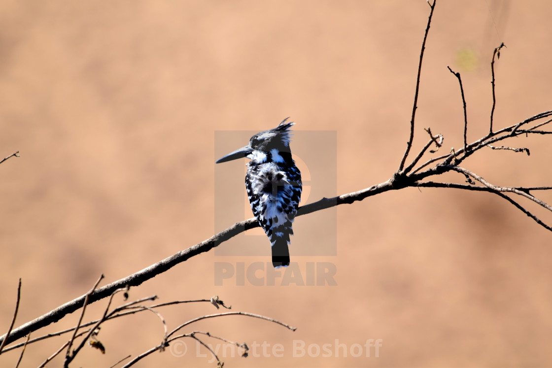 """Pied Kingfisher"" stock image"