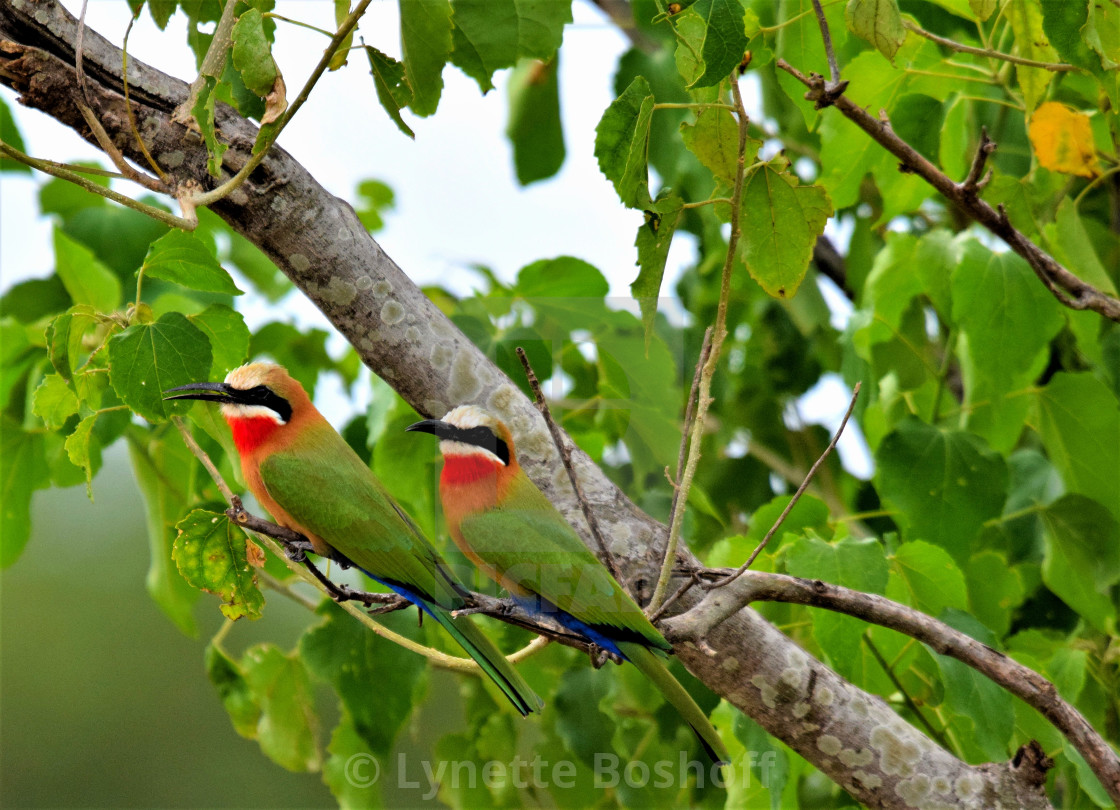 """""""White-Fronted Bee-Eaters"""" stock image"""