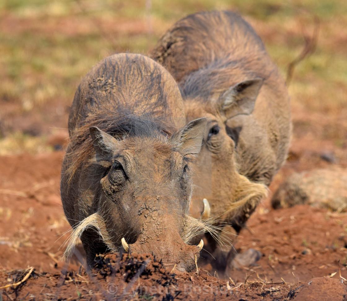 """Warthog"" stock image"