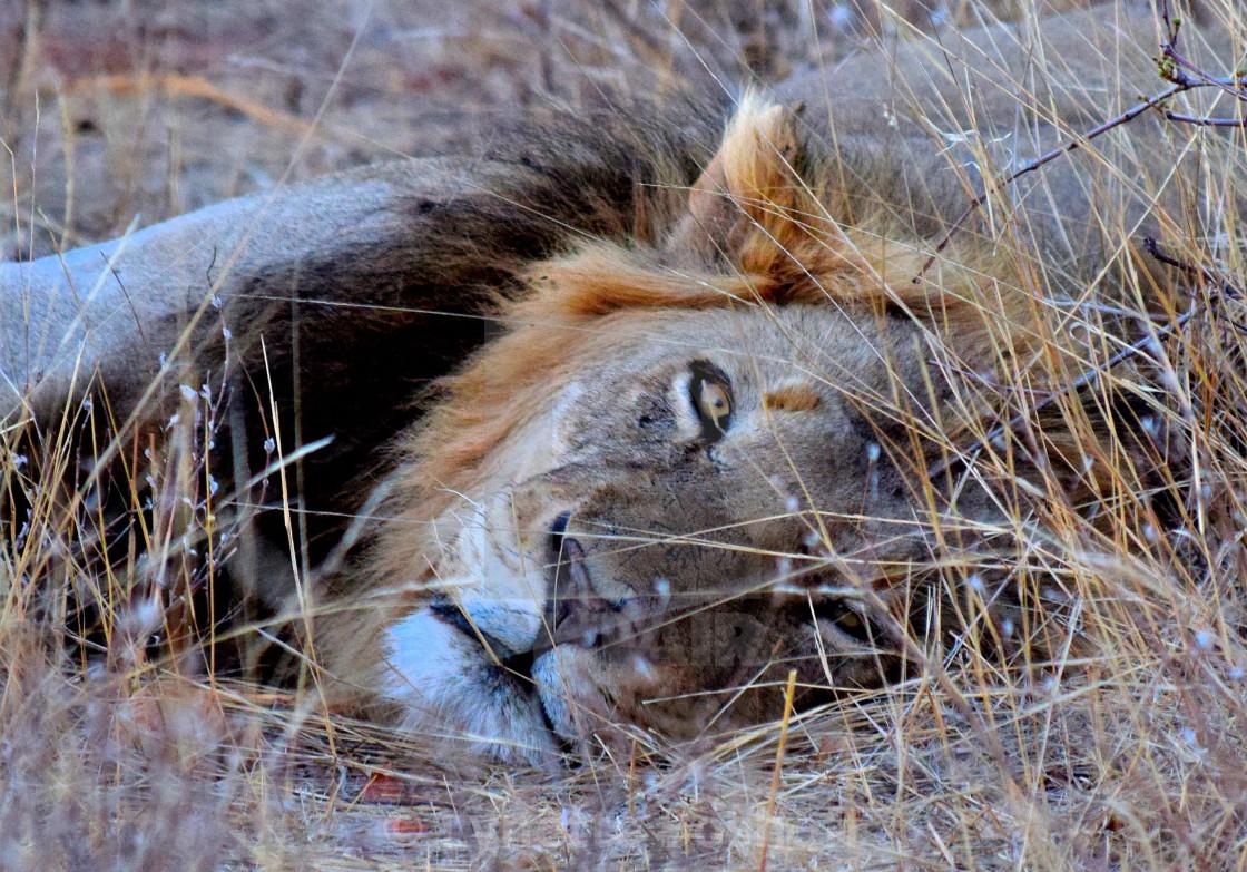 """Lion Stare"" stock image"