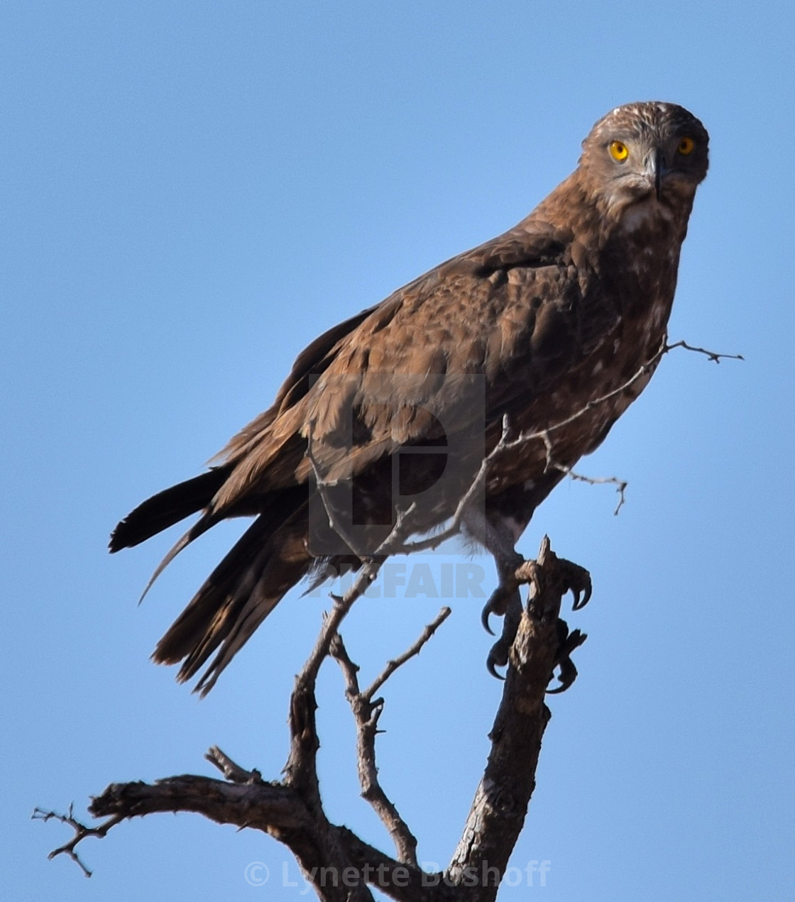 """Brown Snake-Eagle"" stock image"