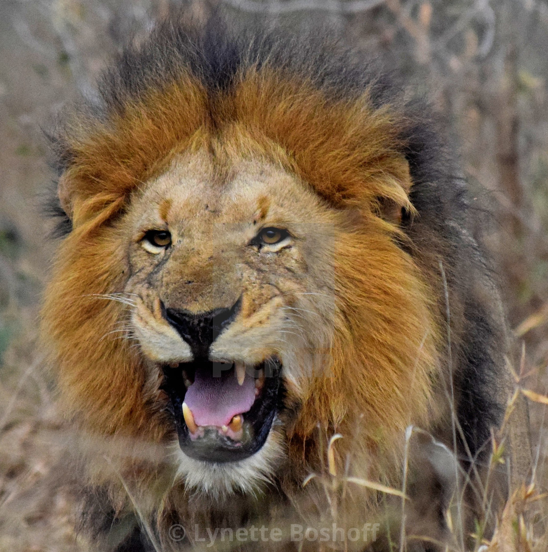 """Male Lion"" stock image"