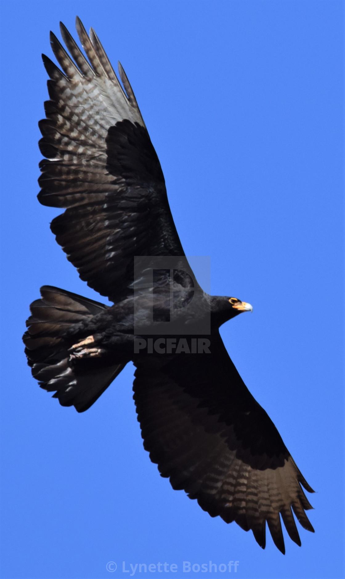 """""""Verreaux's Eagle"""" stock image"""
