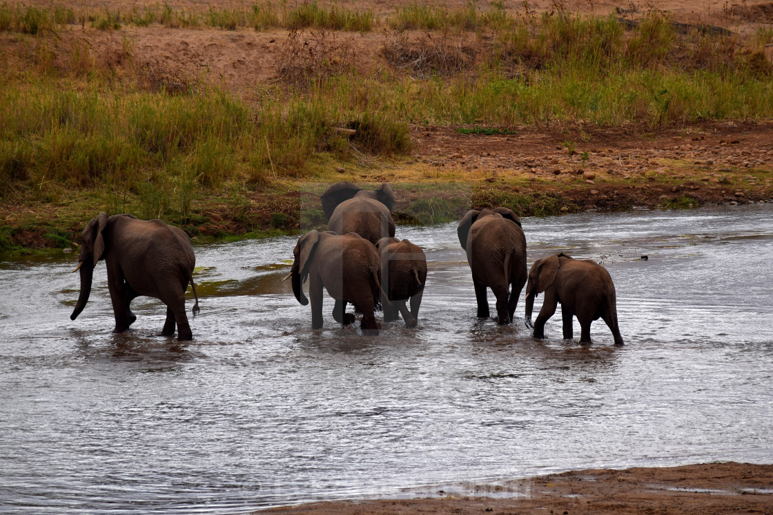 """Elephants in the Water"" stock image"