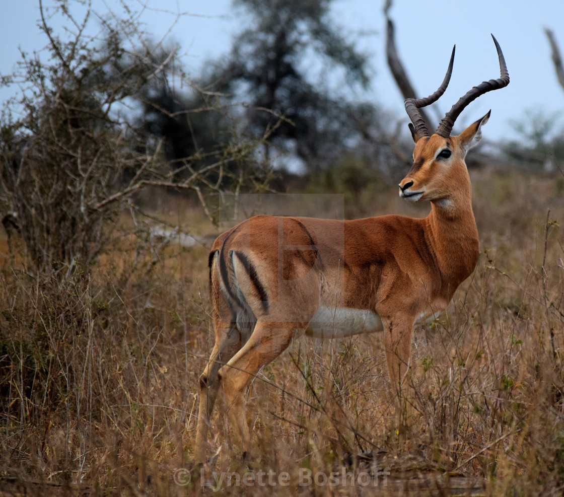 """Male Impala"" stock image"