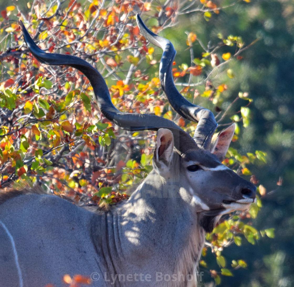 """""""Kudu Male"""" stock image"""