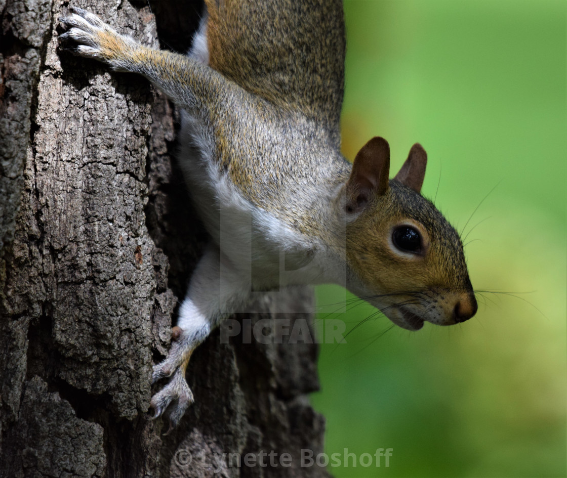 """Tree Squirrel"" stock image"