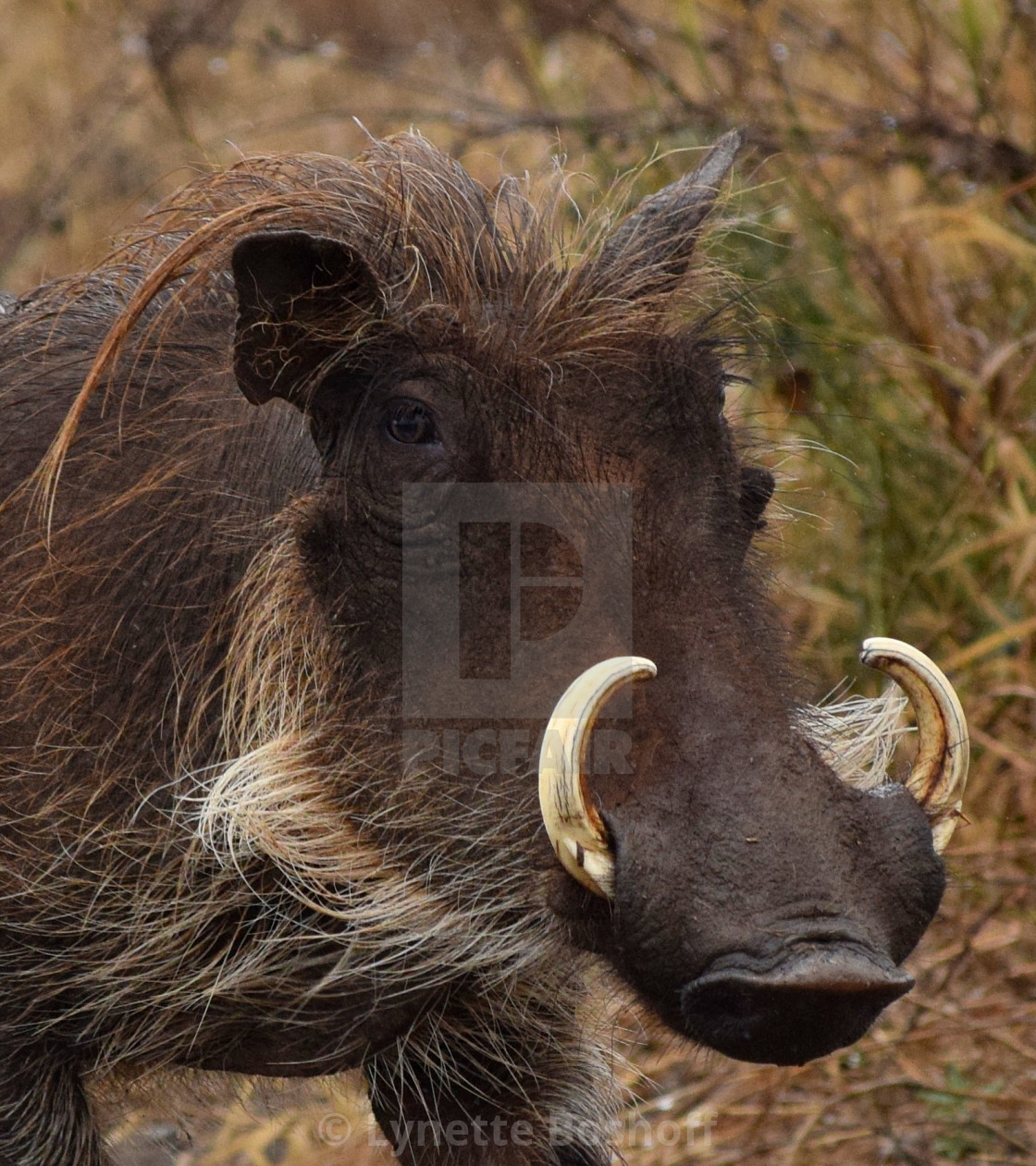 """Common Warthog"" stock image"