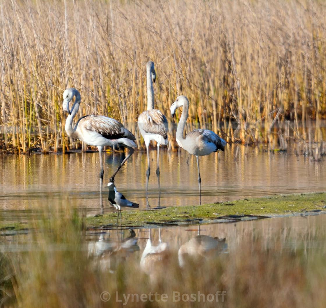 """Juvenile Greater Flamingo"" stock image"