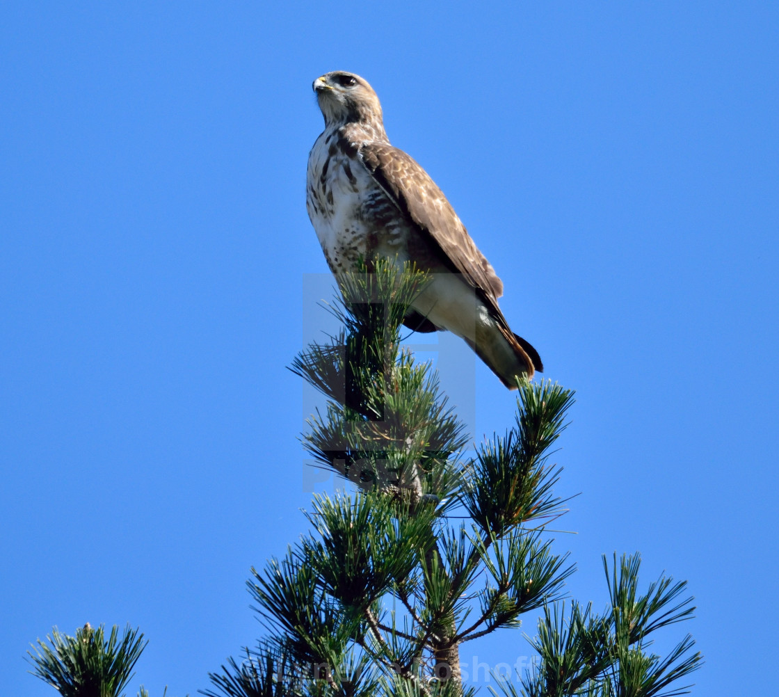 """""""Forest Buzzard"""" stock image"""