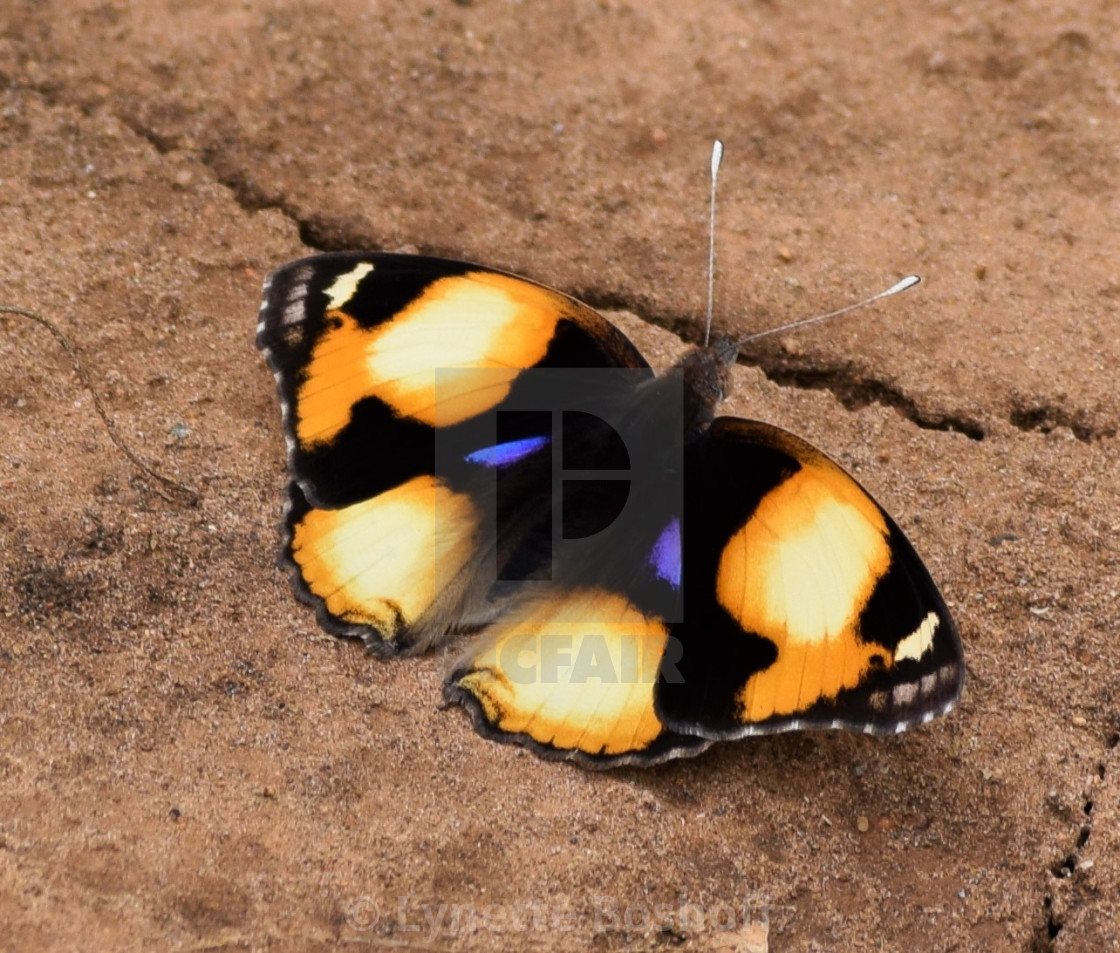"""Yellow Pansy Butterfly"" stock image"