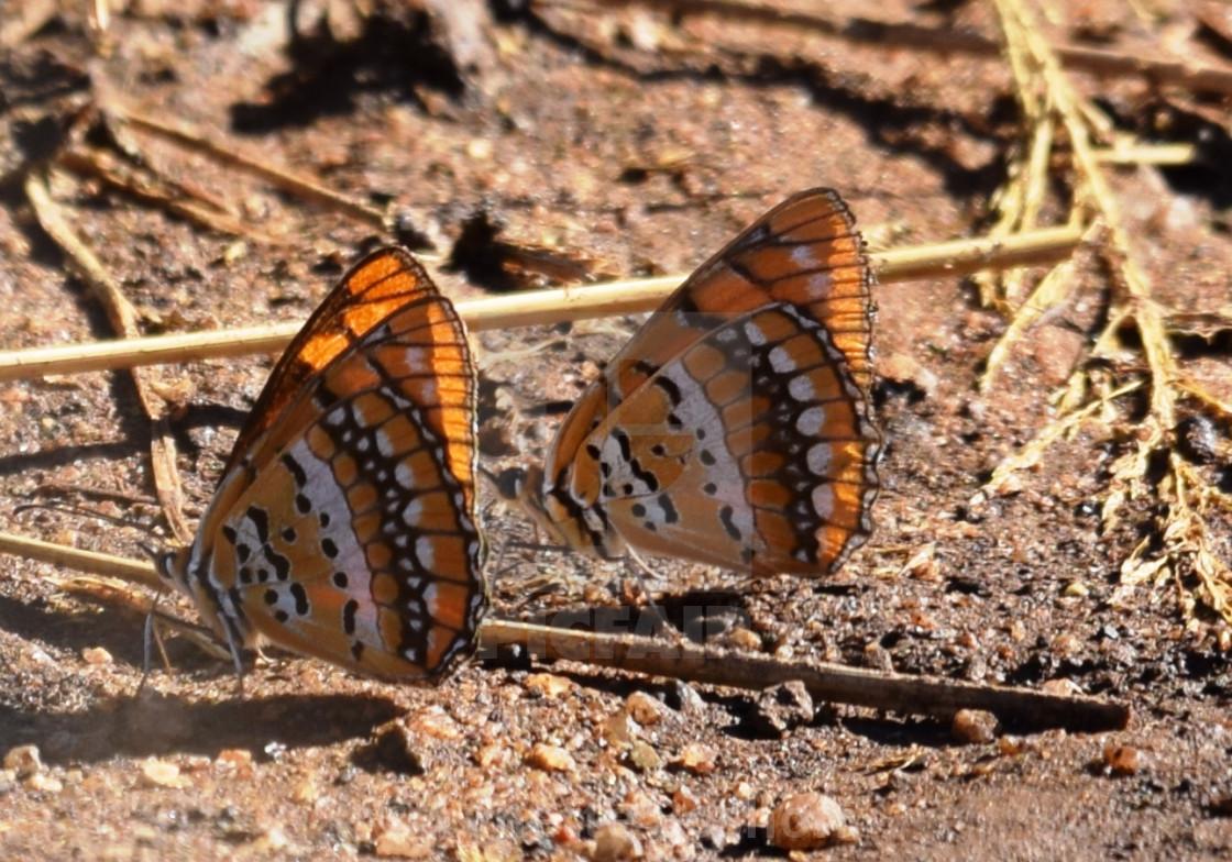 """Spotted Joker Butterfly"" stock image"