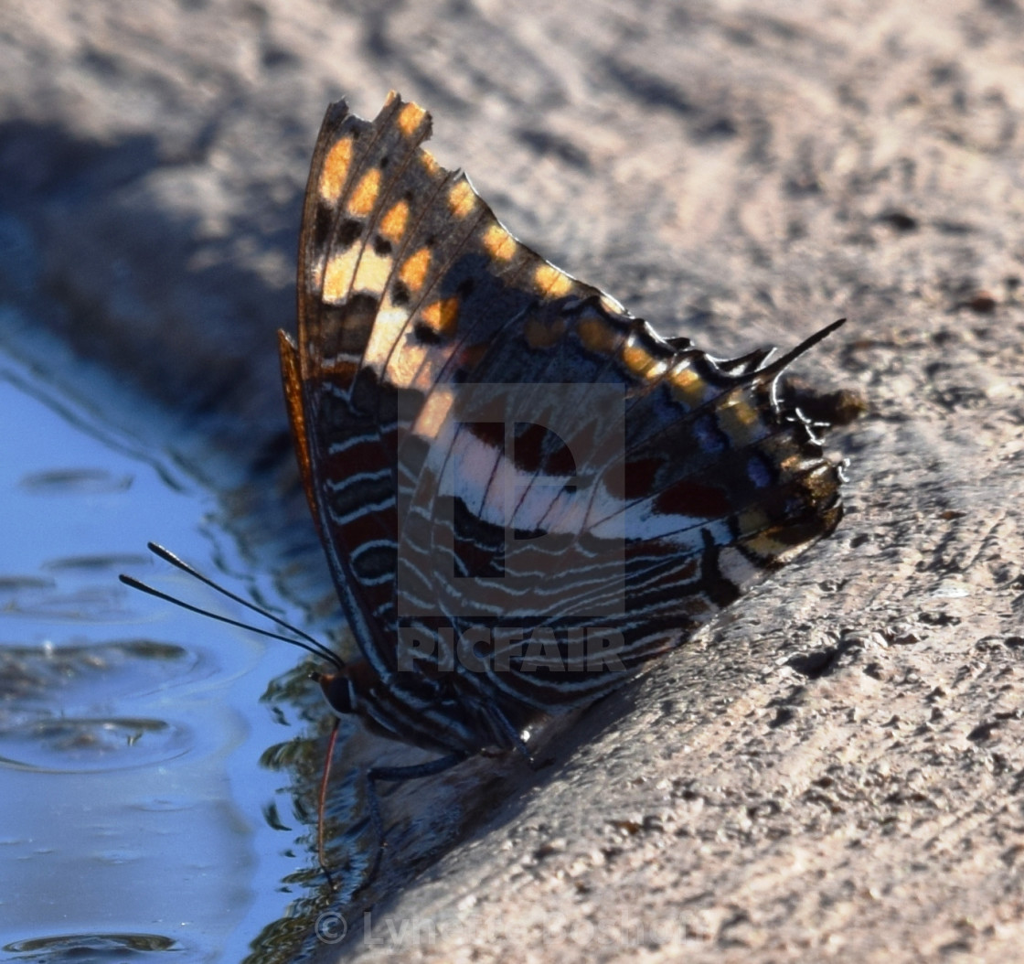 """""""White-Barred Charaxes"""" stock image"""