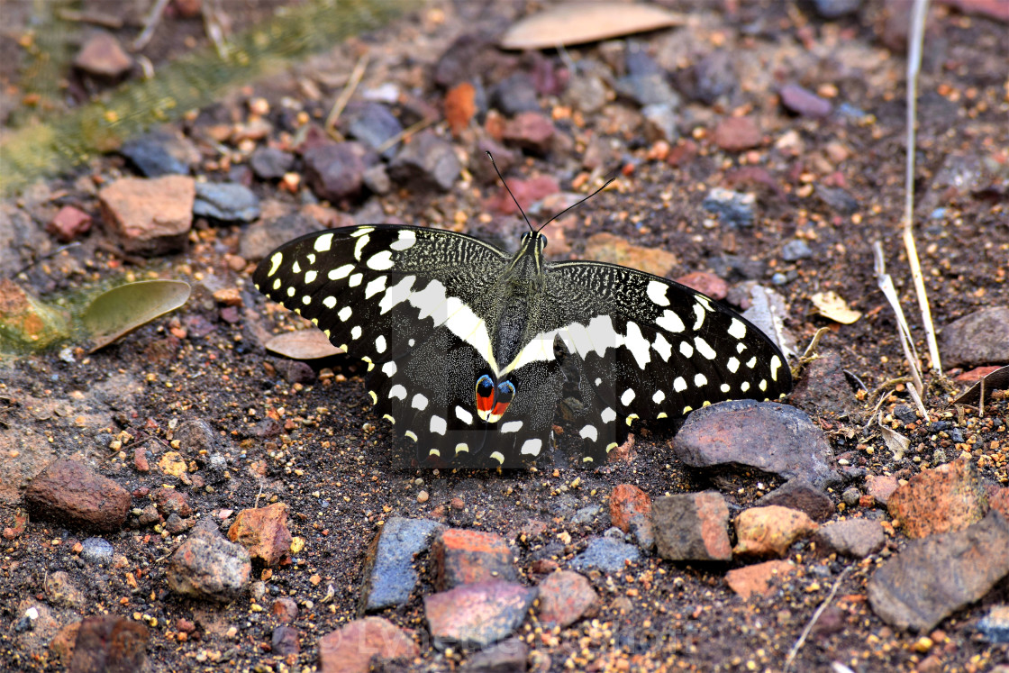 """Citrus Swallowtail Butterfly"" stock image"