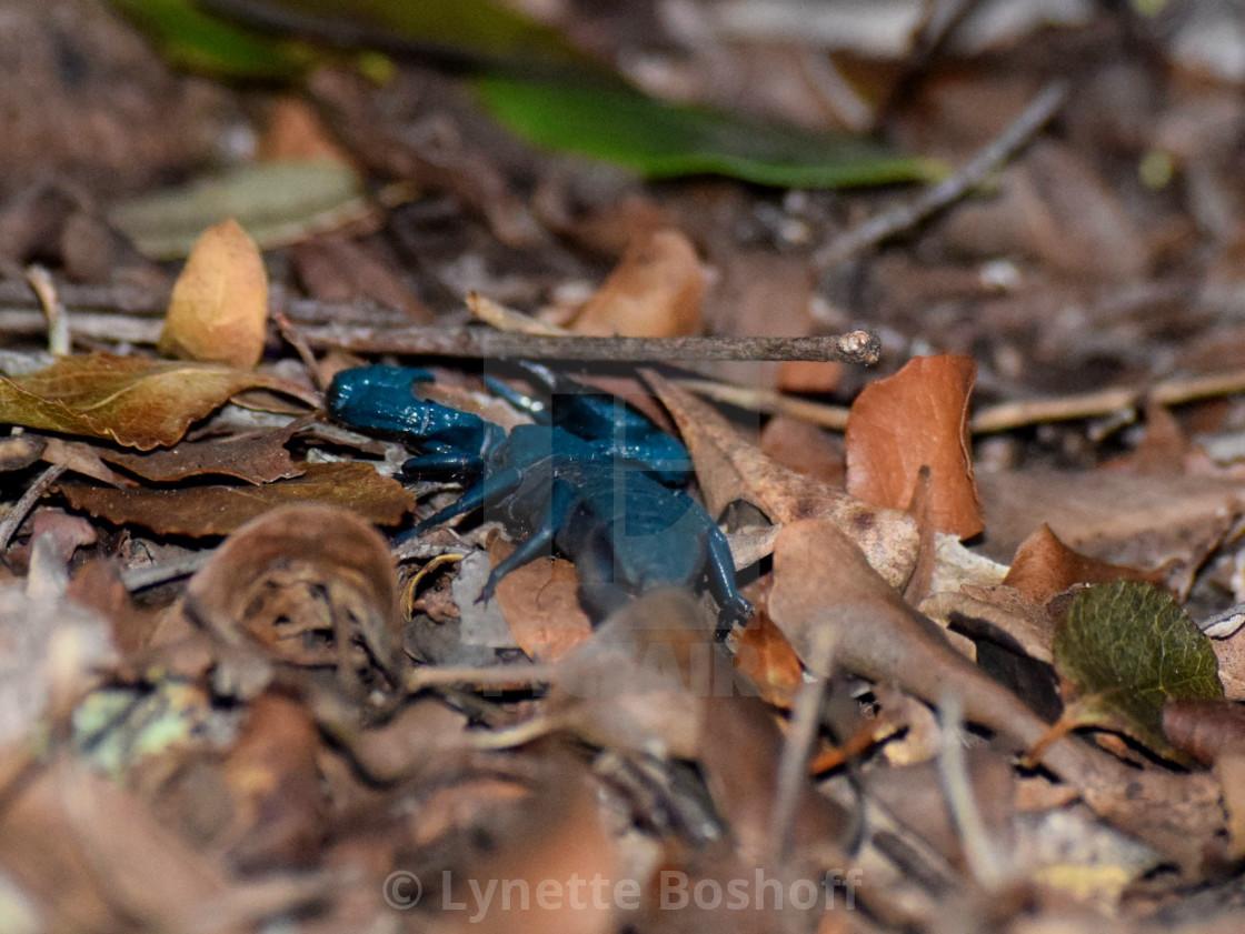 """""""Cape Creeper Scorpion"""" stock image"""