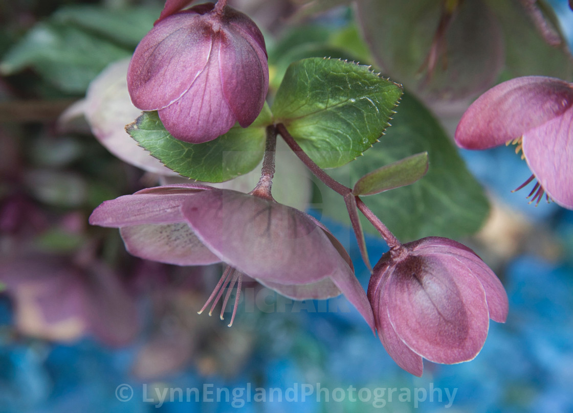 """""""Gloriously structural hellebores"""" stock image"""