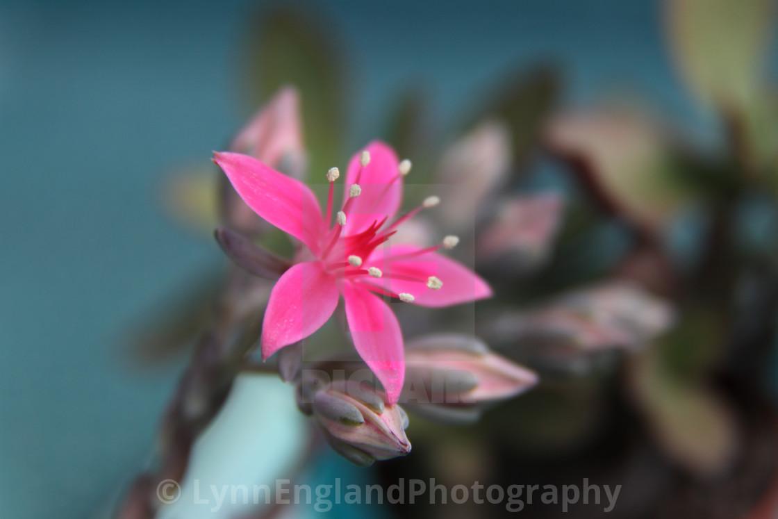"""Succulent in bloom"" stock image"