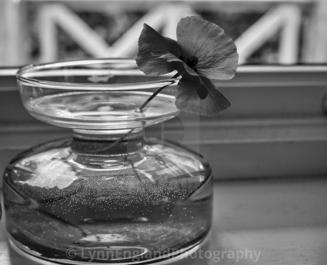 """Solitary poppy in monochrome"" stock image"